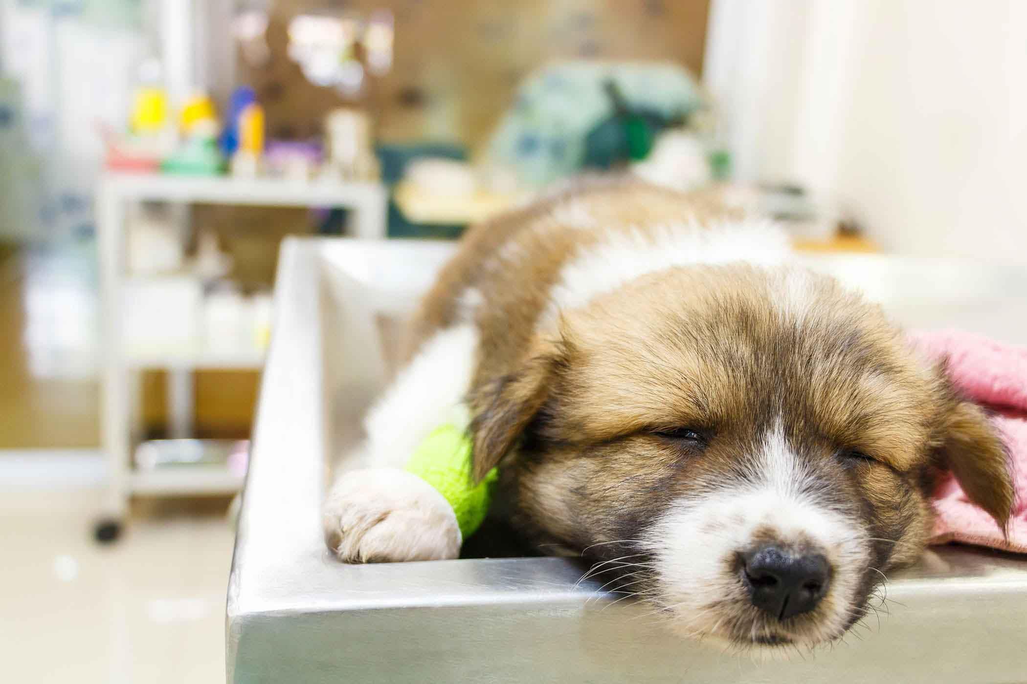 اسهال و استفراغ پاروا ویروسی سگ