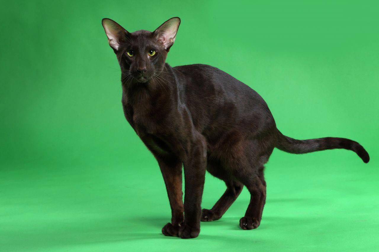 گربه نژاد هاوانا