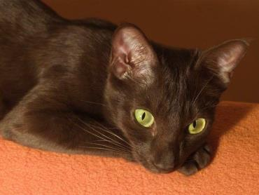 نگهداری گربه نژاد هاوانا