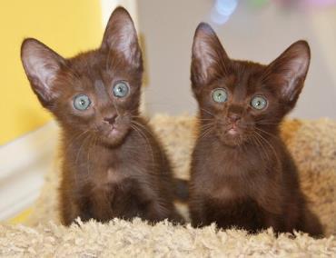 بچه گربه هاوانا قهوهای