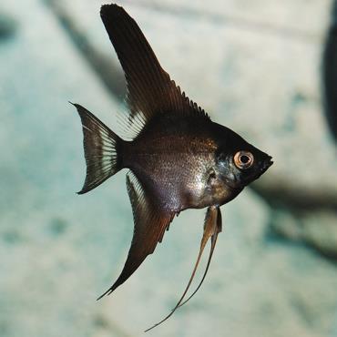 خصوصیات ماهی آنجل سیاه