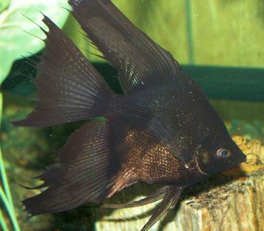 نگهداری ماهی آنجل سیاه