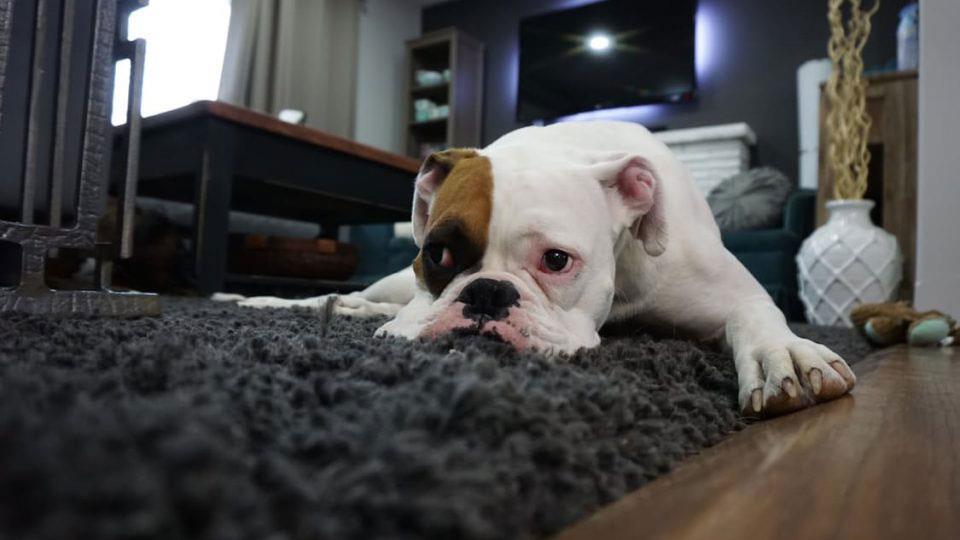 نژادهای سگ مناسب آپارتمان