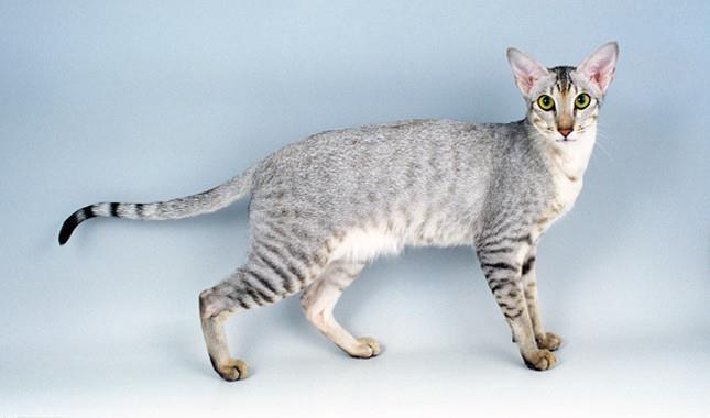 گربه نژاد اورینتال (Oriental Shorthair)
