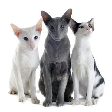 خلق و خوی گربه نژاد اورینتال