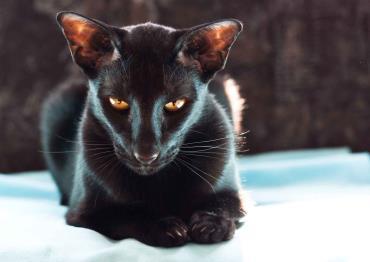 تاریخچه گربه نژاد اورینتال