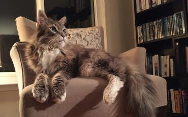 آراستن پوشش گربه مینکوون