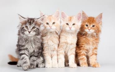رنگهای گربه مین کون