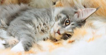 مشخصات گربه نژاد مینکوون