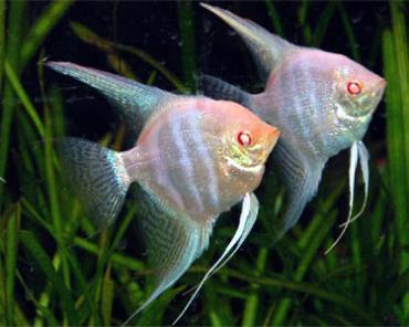 تکثیر ماهی آنجل زال