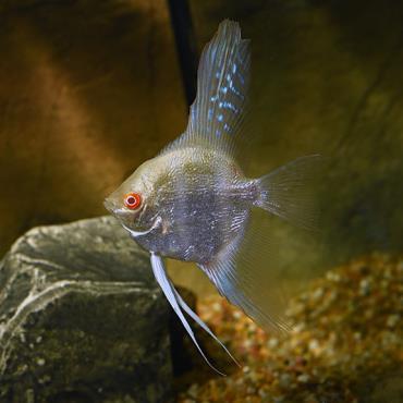 نگهداری ماهی آنجل زال