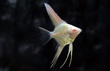 خصوصیات ماهی آنجل زال