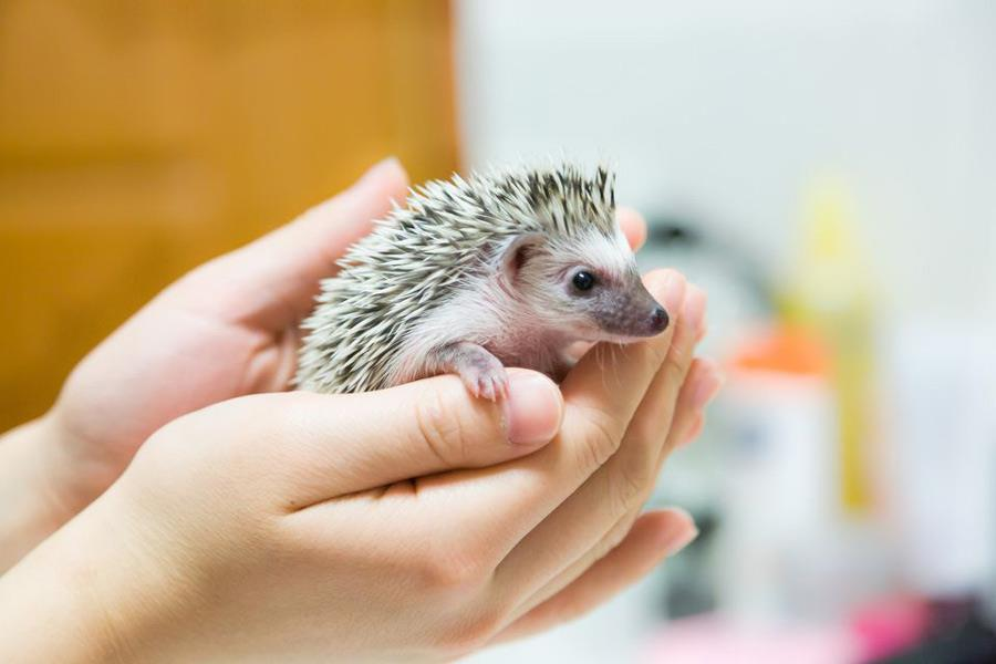نگهداری جوجه تیغی یا خارپشت به عنوان حیوان خانگی