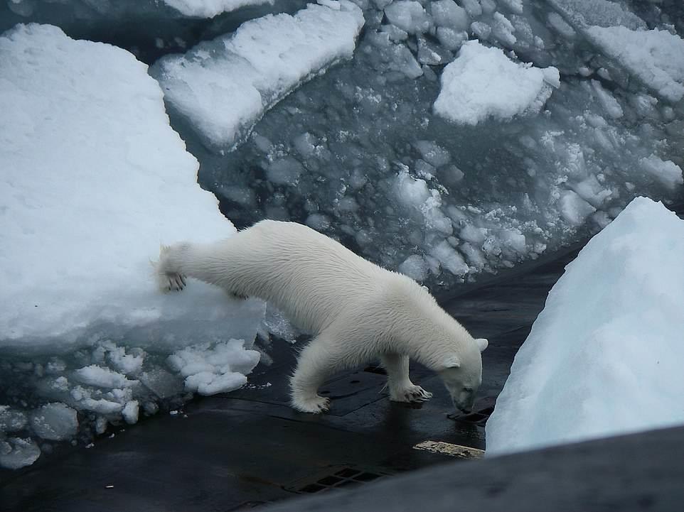 خرس قطبی در جستجوی غذا بر روی عرشه زیردریایی