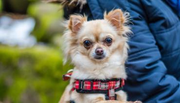 نژاد شی واوا (Chihuahua)