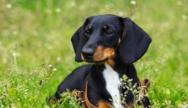 نژاد داشهوند (Dachshunds)