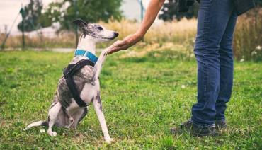 نژاد گریهاند (Greyhounds)