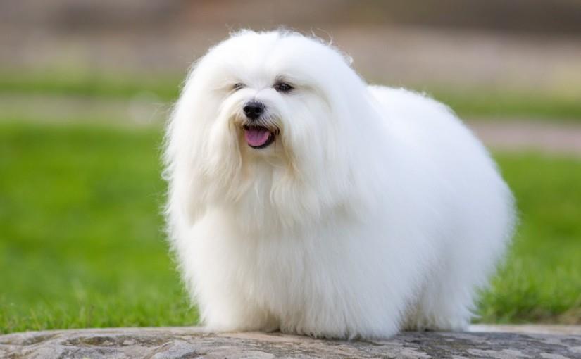 سگ نژاد کوتون دو تولیر (Coton de Tulear)