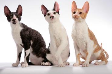 خلق و خوی گربه کرنیش رکس