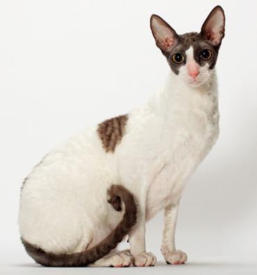 نگهداری گربه نژاد کورنیش رکس