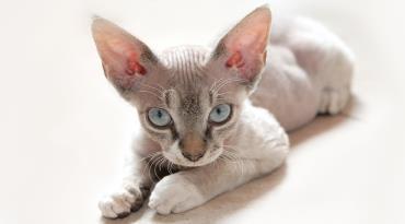 سازگاری گربه نژاد کورنیش رکس
