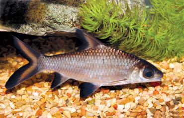 خصوصیات ماهی سیلور شارک