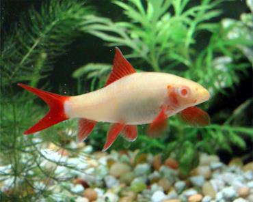 ماهی شارک آلبینو