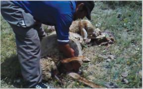 بررسی پستان گوسفند تازه زایمان کرده برای داشتن آغوز وکور نبودن آنها