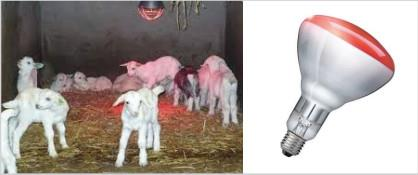 لامپ و مادر مصنوعی مادون قرمز برای گرم نگه داشتن بزغاله و بره