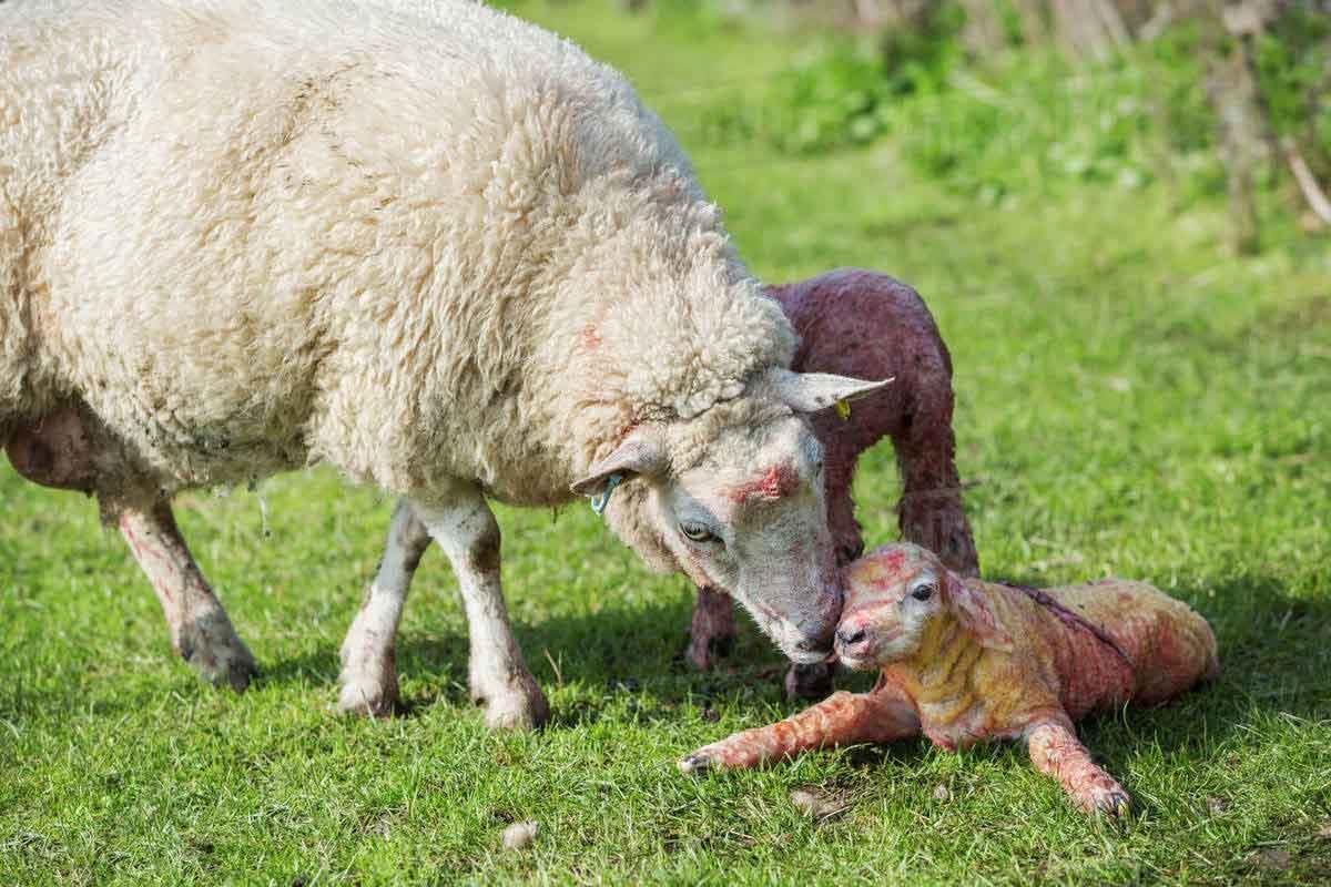 مراقبت از بره و بزغاله نوزاد (بخش اول)