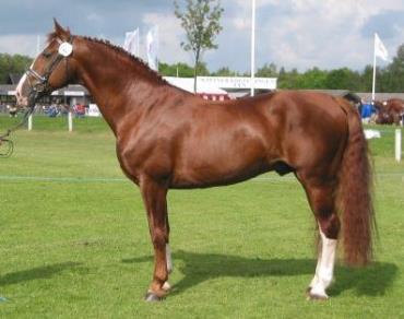 خصوصیات اسب نژاد فردریکس بورگ