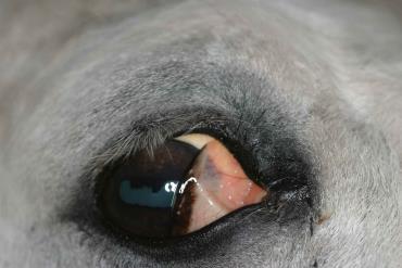 پوشاندن قسمتی از چشم اسب با پلک سوم