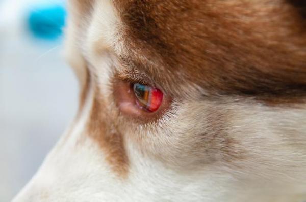 دلایل و درمان قرمزی چشم سگ