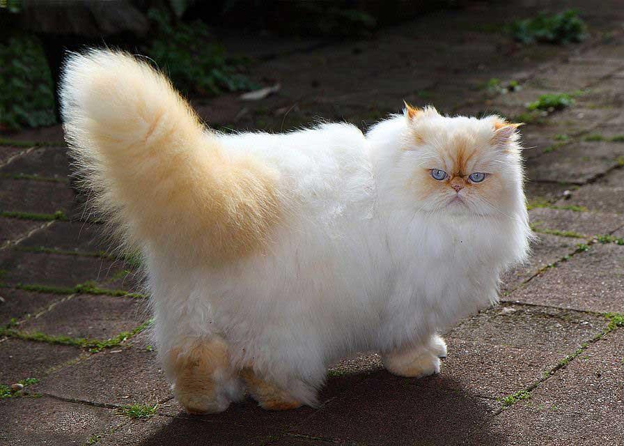 گربه نژاد هیمالین (Himalayan)