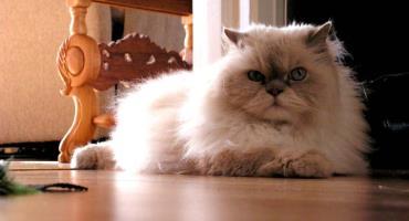 خلق و خوی گربه نژاد هیمالیا