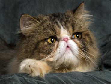 گربه هیمی
