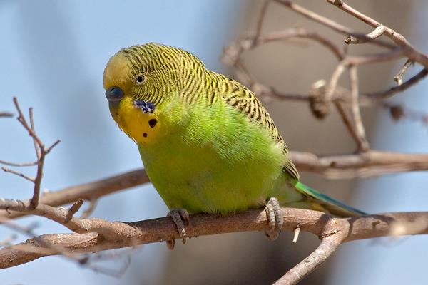 گواتر و اهمیت ید در تغذیه پرندگان زینتی