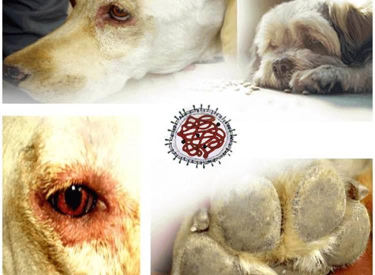 بیماری دیستمپر در سگ