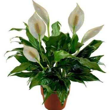 گل سمی لیلیوم