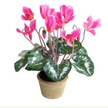 گل سمی سیکلامن