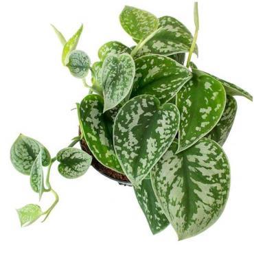 گیاه سمی پوتوس