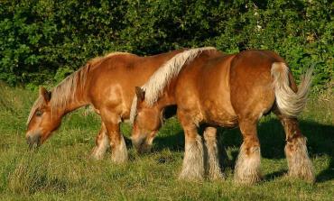 خصوصیات اسب نژاد ژوتلند