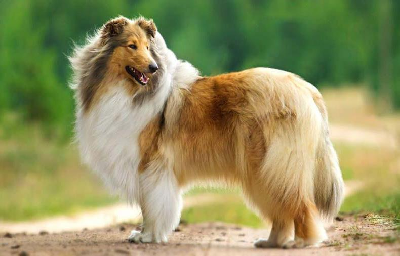 سگ نژاد راف کولی (Rogh Collie)