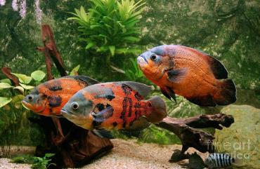 خصوصیات ماهی اسکار