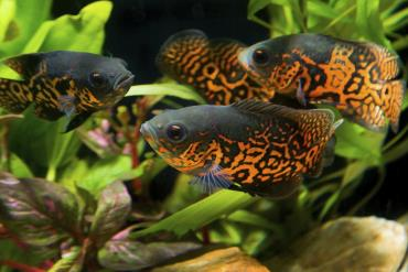 ماهی آکواریومی اسکار