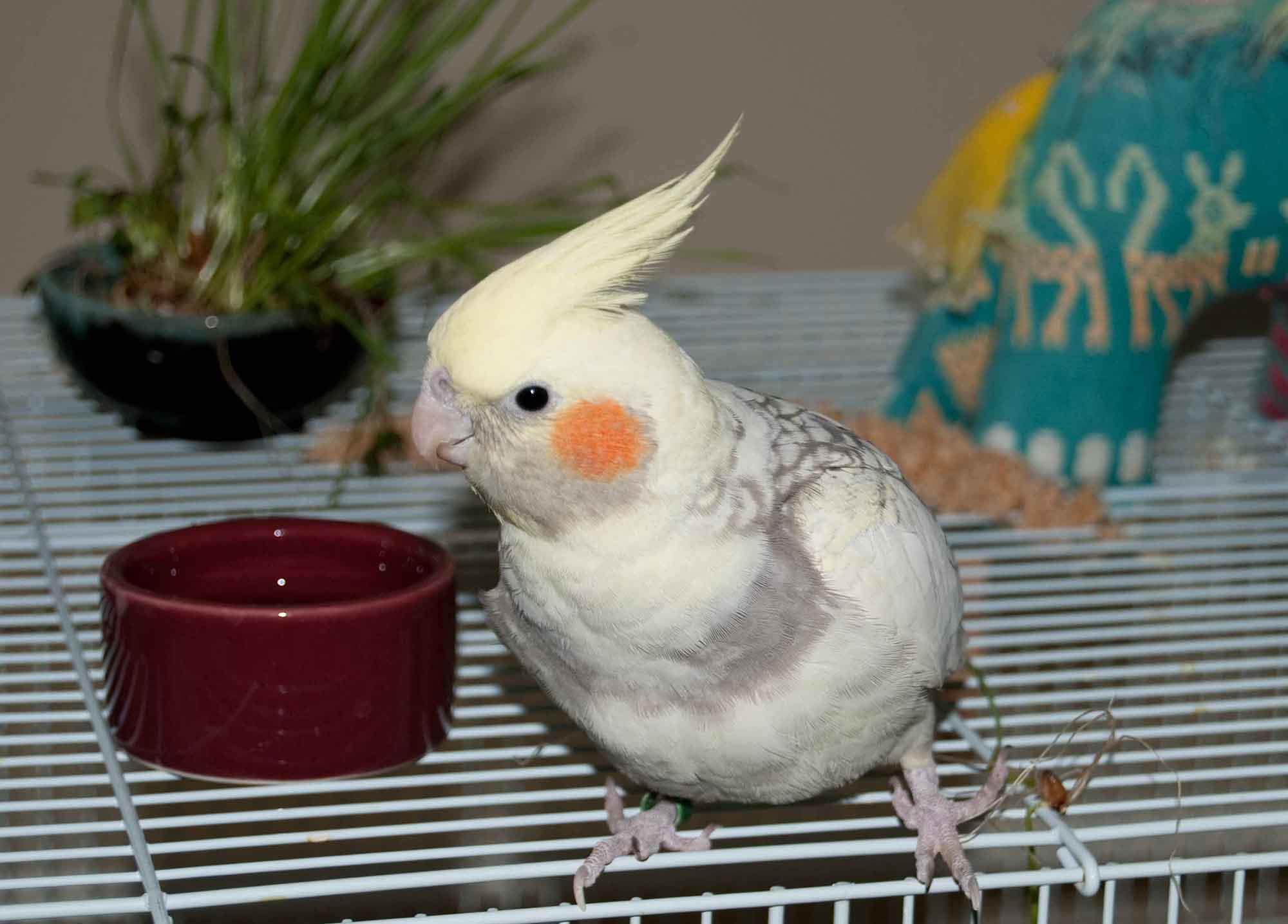 آشنا کردن پرنده خانگی به اسمش