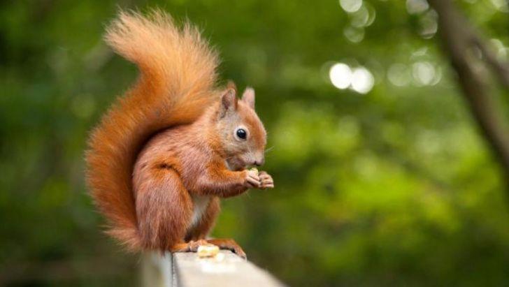 سنجاب ایرانی رو به انقراض است