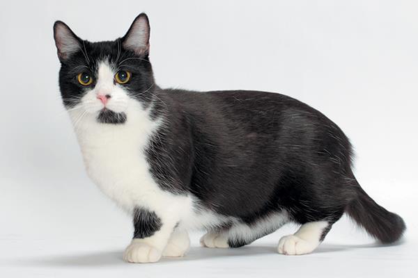 آیا گربه مانچکین برای شما مناسب است؟
