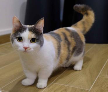 تاریخچه گربه مانچکین