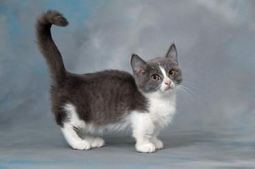گربه مانچکین